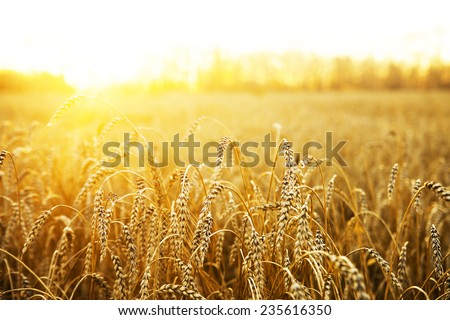 backdrop of ripening ears of yellow wheat field on the sunset cloudy orange sky background Copy space of the setting sun rays on horizon in rural meadow Close up nature photo Idea of a rich harvest #235616350
