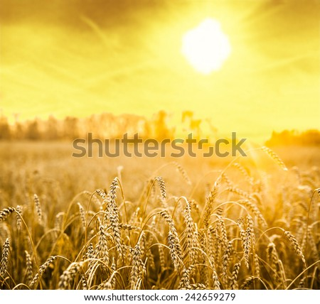 backdrop of ripening ears of yellow wheat field on the sunset cloudy orange sky background Copy space of the setting sun rays on horizon in rural meadow Close up nature photo Idea of a rich harvest #242659279