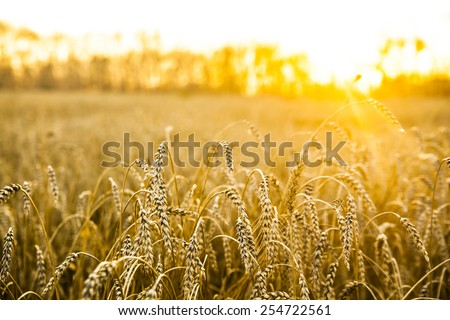 backdrop of ripening ears of yellow wheat field on the sunset cloudy orange sky background Copy space of the setting sun rays on horizon in rural meadow Close up nature photo Idea of a rich harvest #254722561