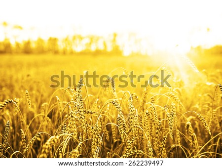 backdrop of ripening ears of yellow wheat field on the sunset cloudy orange sky background Copy space of the setting sun rays on horizon in rural meadow Close up nature photo Idea of a rich harvest #262239497