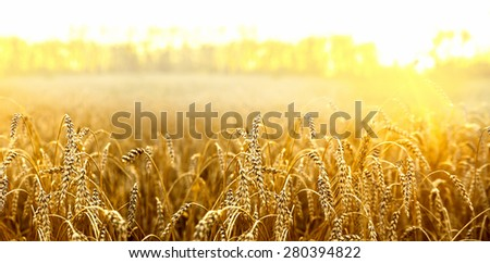 backdrop of ripening ears of yellow wheat field on the sunset cloudy orange sky background Copy space of the setting sun rays on horizon in rural meadow Close up nature photo Idea of a rich harvest #280394822