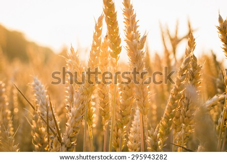 backdrop of ripening ears of yellow wheat field on the sunset cloudy orange sky background Copy space of the setting sun rays on horizon in rural meadow Close up nature photo  Idea of a rich harvest #295943282