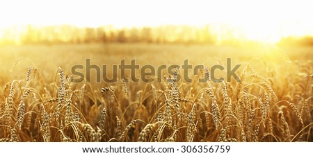 backdrop of ripening ears of yellow wheat field on the sunset cloudy orange sky background Copy space of the setting sun rays on horizon in rural meadow Close up nature photo Idea of a rich harvest #306356759