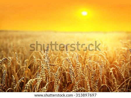 backdrop of ripening ears of yellow wheat field on the sunset cloudy orange sky background Copy space of the setting sun rays on horizon in rural meadow Close up nature photo Idea of a rich harvest #313897697