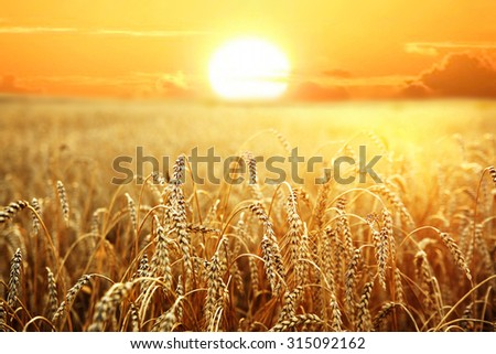 backdrop of ripening ears of yellow wheat field on the sunset cloudy orange sky background Copy space of the setting sun rays on horizon in rural meadow Close up nature photo Idea of a rich harvest #315092162
