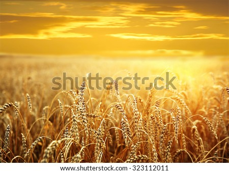 backdrop of ripening ears of yellow wheat field on the sunset cloudy orange sky background Copy space of the setting sun rays on horizon in rural meadow Close up nature photo Idea of a rich harvest #323112011