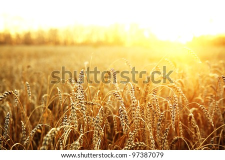 Shutterstock backdrop of ripening ears of yellow wheat field on the sunset cloudy orange sky background. Copy space of the setting sun rays on horizon in rural meadow Close up nature photo  Idea of a rich harvest
