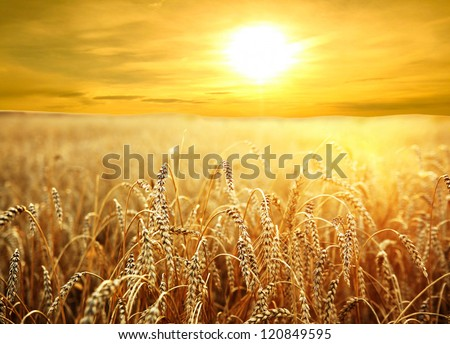 Backdrop Of Ripening Ears Of Yellow Wheat Field On The Sunset Cloudy Orange Sky Background Of The Setting Sun On Horizon