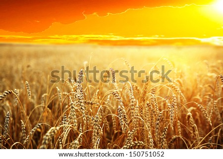 backdrop of ripening ears of yellow wheat field on the sunset cloudy orange sky background of the setting sun on horizon #150751052