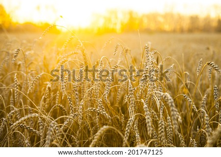 backdrop of ripening ears of yellow wheat field on the sunset orange sky with setting sun rays on horizon in rural meadow Close up nature photo  Idea of a rich harvest #201747125