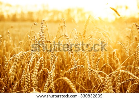 backdrop of ripening ears of yellow wheat field on the sunset yellow sky on background. Copy space of setting sun rays on horizon in rural meadow. Close up nature photo. Idea of a rich harvest #330832835