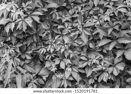 Background and texture of a wall with black and white leaves from trees on a summer autumn day in monochrome. Nature, naturalness and freshness.