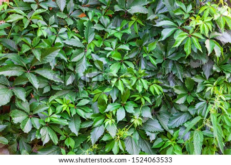Background and texture of a wall with green leaves from trees on a summer day. Nature, naturalness and freshness.