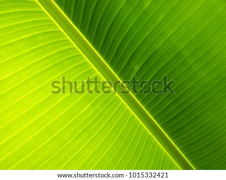 Background and texture of crosswise banana leaf #1015332421