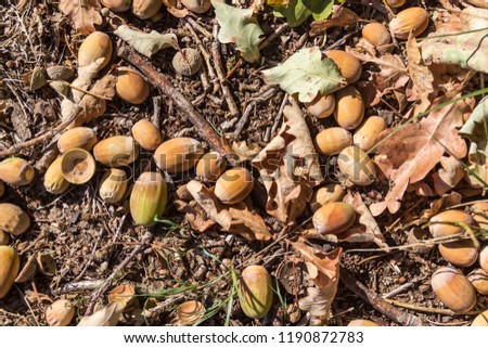 Background - autumn picture, acorns and leaves on the ground