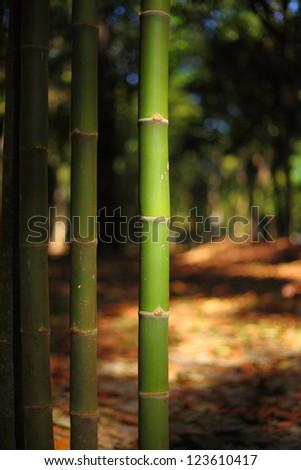 Background bamboo garden.