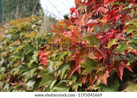 Background Beautiful autumn leaves of wild grapes #1195045669