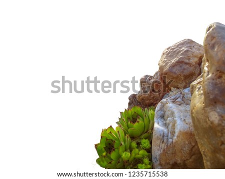 Background, bright green Hens and Chicks (Sempervivum tectorum)