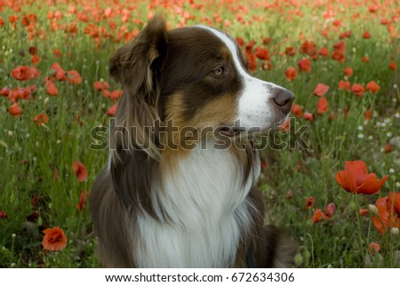 Stock Photo Background: closeup of an Australian shepherd dog of red tricolor color with blue and green eyes sniffing in a poppy-grown farmland (Papaver rhoeas), full blooming red-colored, late spring, italy