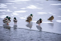 background - ducks on river ice in winter