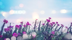 background Flower Cleome spinosa pink. background flower blur. wallpaper Flower, Space for text. Cleome spinosa (Klee-OH-mee spye-NOH-suh)