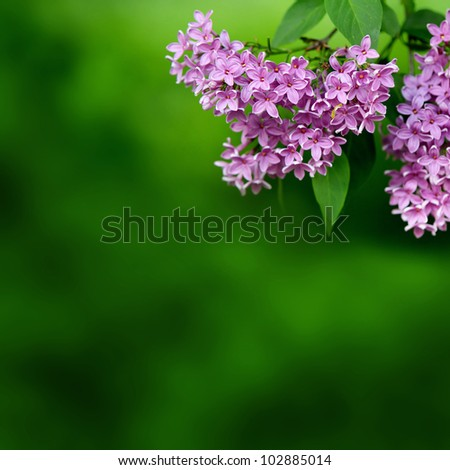 Background for design. Lilac pink flowers on a background of green leaves