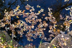 Background formed by fallen bright autumn leaves on the dark surface of the pond.