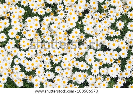 Background from beautiful white camomiles
