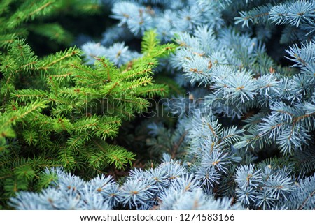 Background from blue and green spruce.Blue and green spruce. Blue and green spruce grow together. #1274583166