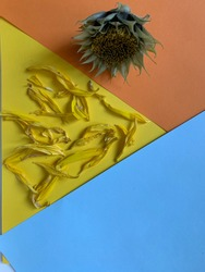 background from color blocks yellow, blue, orange. colored sheets of paper on an orange background lies a sunflower flower without petals. dry lazy yellow petals of a sunflower lie against a blue back