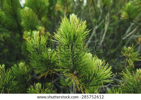 Background from conifer evergreen tree branches, natural seasonal background
