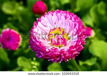 background from flower and  buds of dahlia - stock photo
