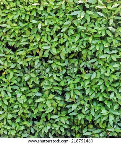 background from green laurel leaves