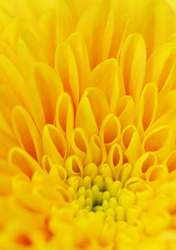 Background from petals of a yellow flower