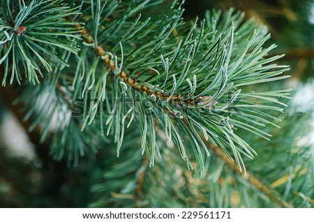 Background from pine iced tree branches with morning frost, seasonal holiday image