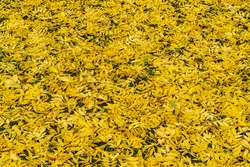 Background from the ground filled with vibrant yellow ash leaves in autumn