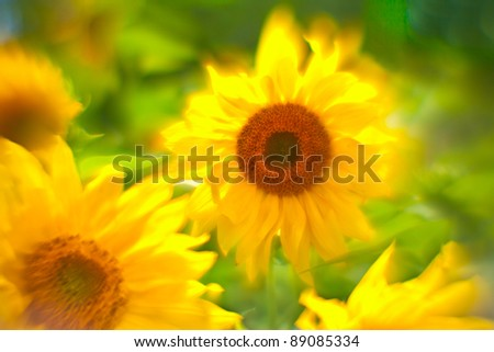 "Background from the sunflowers shooted on ""lens baby"" - stock photo"