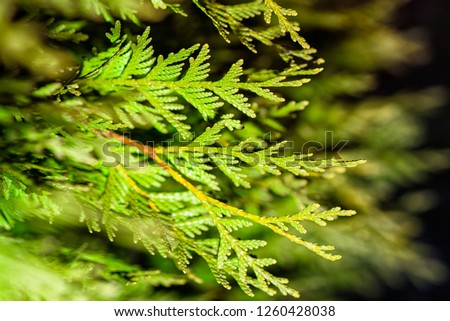 Background from Thuja branches. Thuja branches in the dark. The green branches . green nature background. Wallpaper. Texture.Thuja branches. #1260428038
