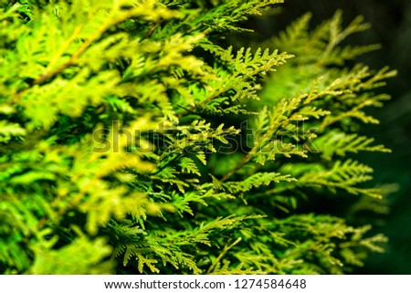 Background from Thuja branches. Thuja branches in the dark. The green branches . green nature background. Wallpaper. Texture.Thuja branches. #1274584648