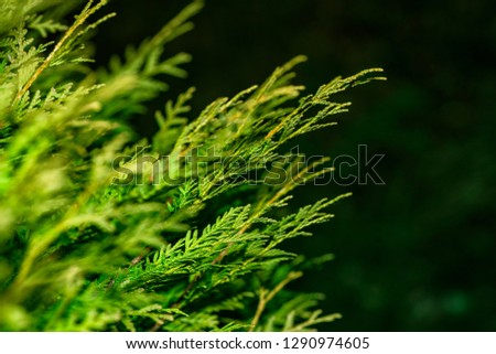 Background from Thuja branches. Thuja branches in the dark. The green branches . green nature background. Wallpaper. Texture.Thuja branches. #1290974605