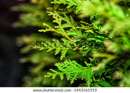 Background from Thuja branches. Thuja branches in the dark. The green branches . green nature background. Wallpaper. Texture.Thuja branches. #1443561959