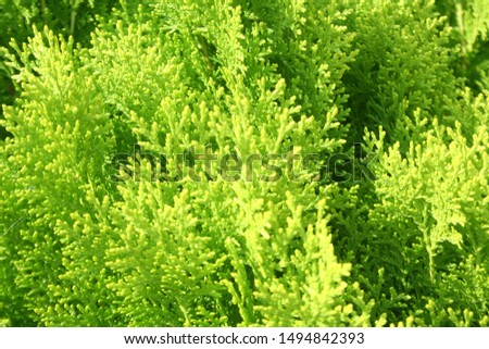 Background from Thuja branches. Thuja branches in the dark. The green branches . green nature background. Wallpaper. #1494842393
