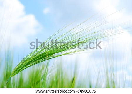 Background from young vegetation corn field