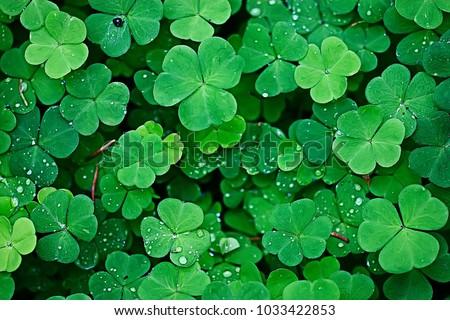 background green shamrock/ nature background, fresh green juicy color, shamrock plant