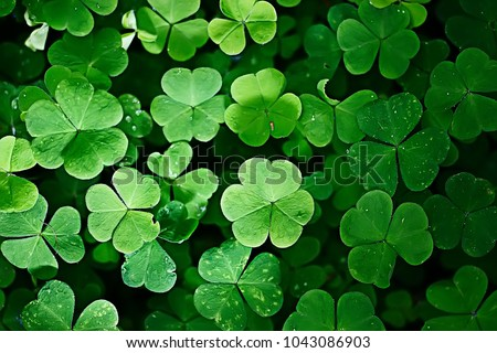 background green shamrock/ nature background, fresh green juicy color, shamrock plant #1043086903