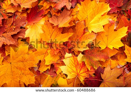 Background group autumn orange leaves. Outdoor. #60488686