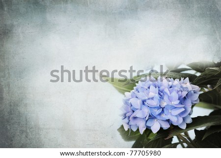 Background Hydrangea flowers and room for copy space.