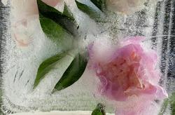 background, ice with frozen peony flower, peonies, frozen flower