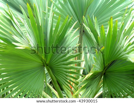 Background image is filled with fronds from tropical Fan Palm on the Big Island of Hawaii.