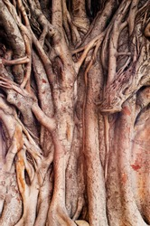 Background image of  a tropical banyan tree (ficus benghalensis) .